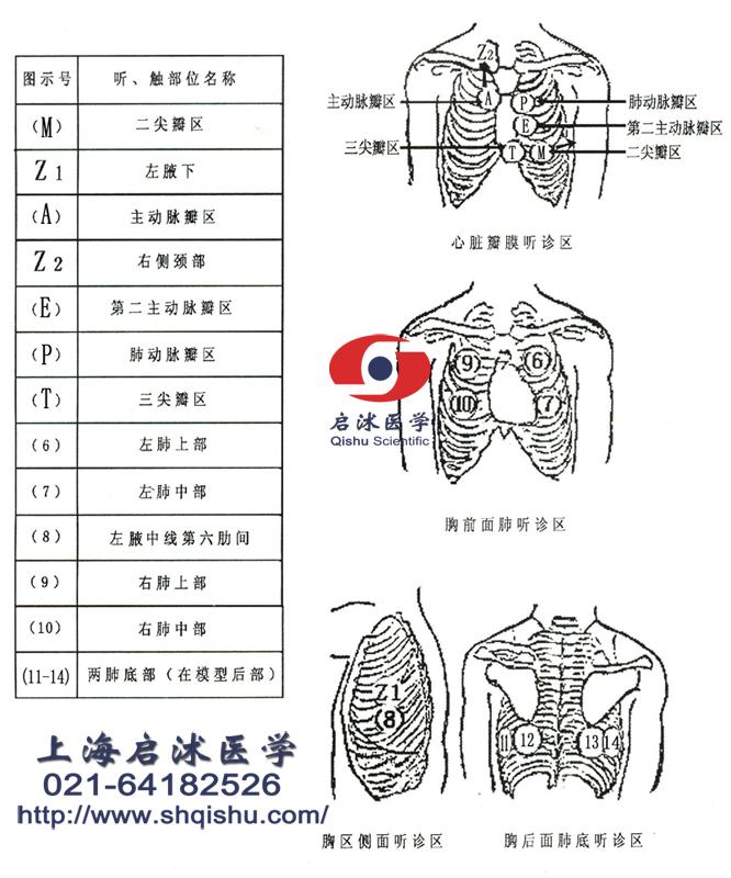 心肺触诊听诊示意图